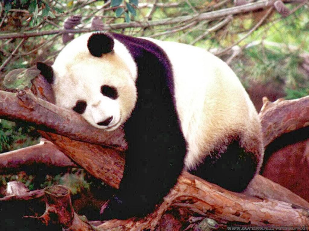 a-usa-giant-panda-endangered-species-giant-facts-about-pandas-bear-habitat-panda-bear-panda-migration-travel-destination-beautiful-amazing-zoo-panda-animal